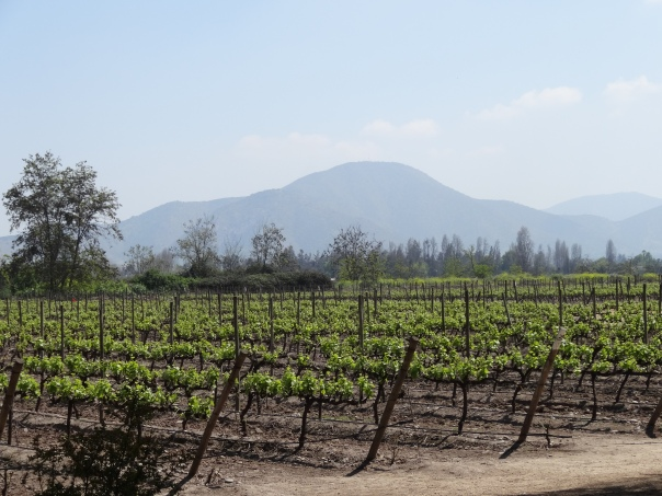 Undurraga Vineyard